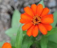 profusion-zinnia-orange