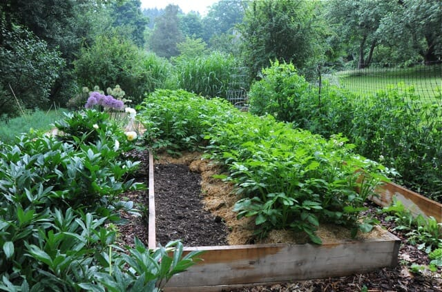 growing potatoes organically when and how to plant hill