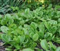 spinach-when-succulent