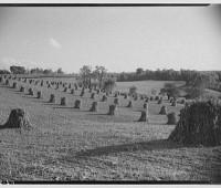 corn stacks in field