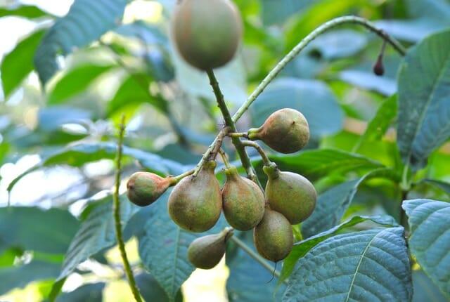 No Not Pears Bottlebrush Buckeye Goes Nuts A Way To Garden