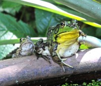 joy in mudville: big frog in a small pond