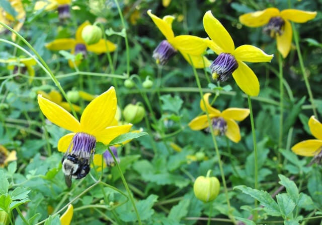 the sunny disposition of clematis tangutica a way to garden. Black Bedroom Furniture Sets. Home Design Ideas