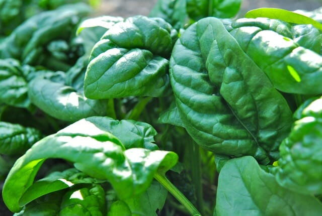 What Do Spinach Plants Look Like