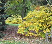 aesculus-parviflora-fall-color