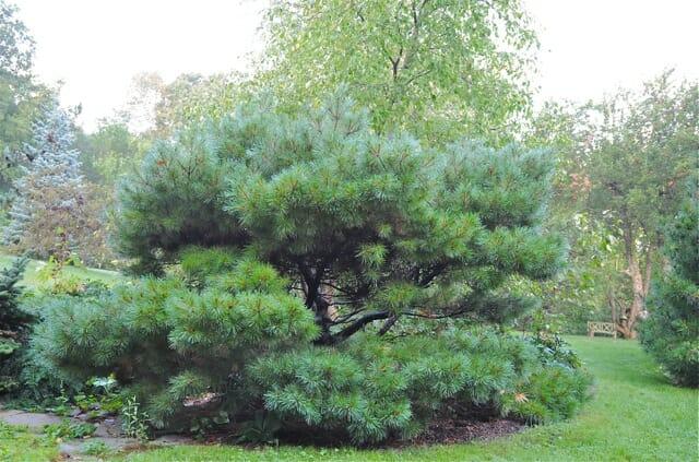 beloved conifer my notsodwarfnow white pines  a way to garden, Natural flower