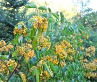 fruit-of-viburnum-michael-dodge