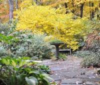 lindera-fall-color