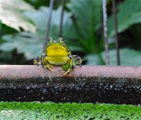male-frog-yellow-belly