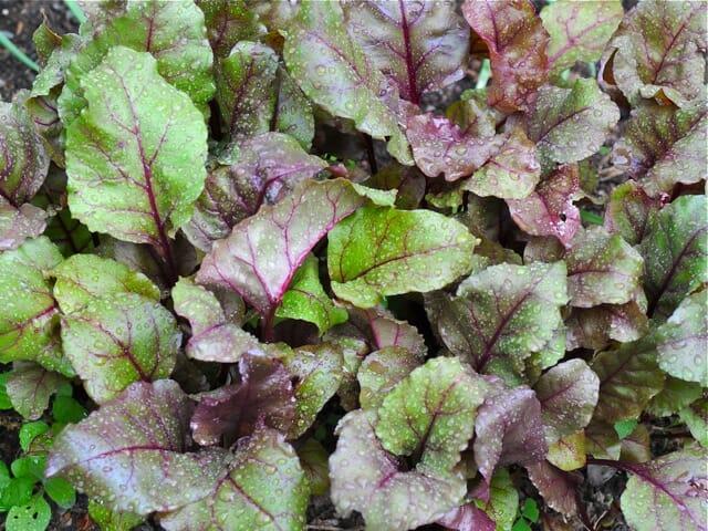 Bull's Blood beet greens foliage
