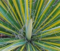 yucca-november