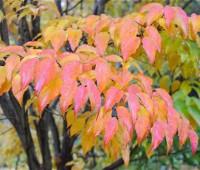kousa-fall-foliage