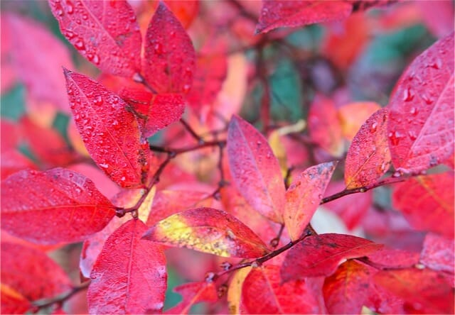 12 Trees And Shrubs For Great Fall Foliage Color A Way