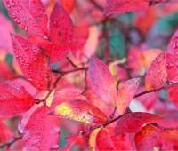 lowbush-blueberry-fall-foliage