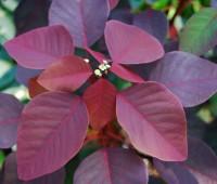 euphorbia-cotinifolia_0