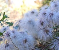 clematis-seedhead