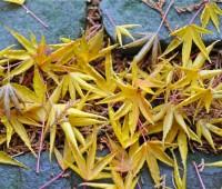 fallen-maples-foliage
