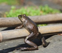 frogs-out-in-march