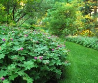 geranium-macrorrhizum
