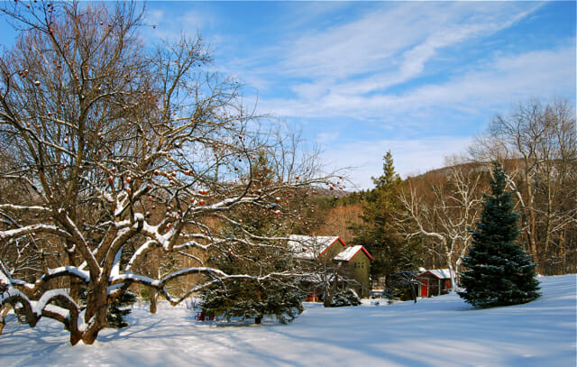 Winter view with century-old apple tree
