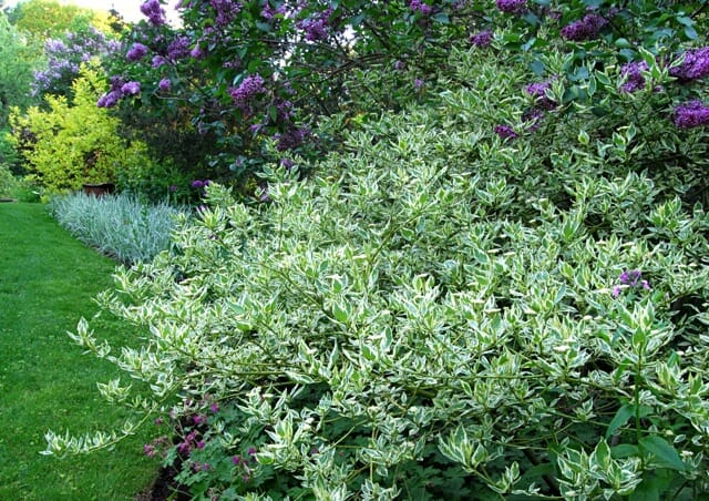 Great Shrub Cornus Sericea Silver And Gold A Way To