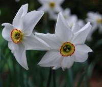 narcissus-poeticus-recurvus.jpg