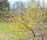cornus-mas-gold-leaf