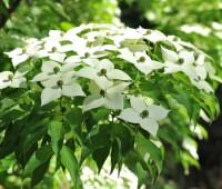kousa-blooms