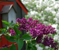 lilac-opener