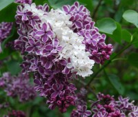 lilac-reversion