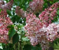 marie-frances-lilac