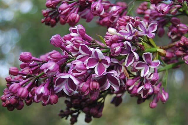 New Lilac Slideshow Call Me Old Fashioned A Way To Garden