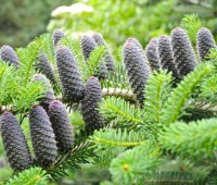 conifers: pruning, best cultivars and more, with longwood's ginny levy