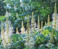 aesculus-parviflora-blooms