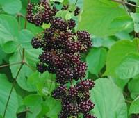 aralia-racemosa-fruits