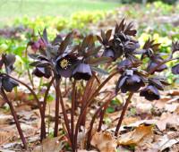 black-helleborus-orientalis-2