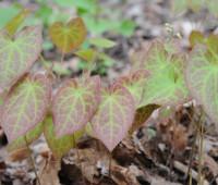 epimedium-leaves-red