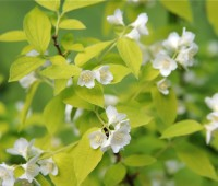 great shrub: gold-leaf mock orange
