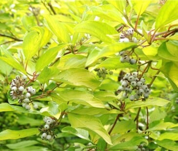 cornus sericea sunshine fruit