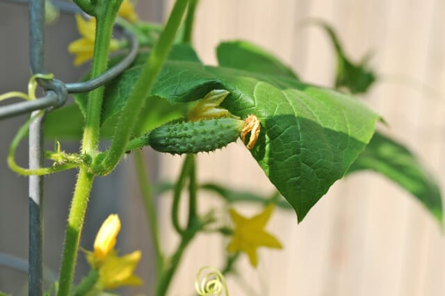 cucumber fruit forming