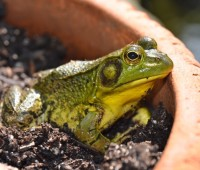 potted-frog