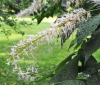 the other bottlebrush buckeye: 'rogers' strain