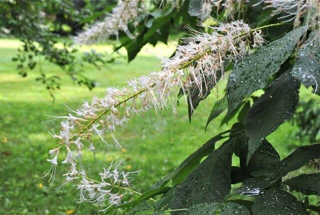 aesculus parviflora rogers flower