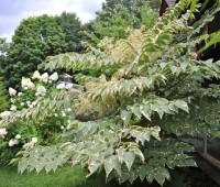 great shrub: aralia elata 'silver umbrella'