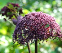 angelica-gigas-detail