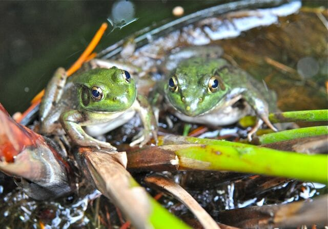 2 frogs in potted water plant