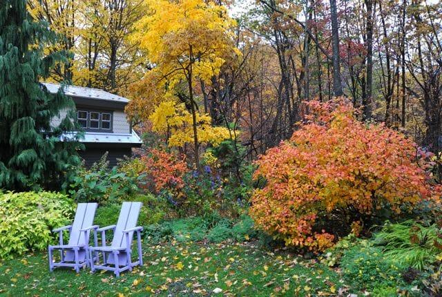 fothergilla major fall foliage