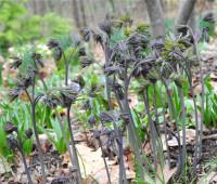 caulophyllum-thalictroides