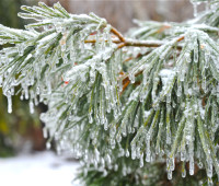 iced-conifers
