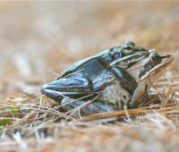 wood-frog-porn